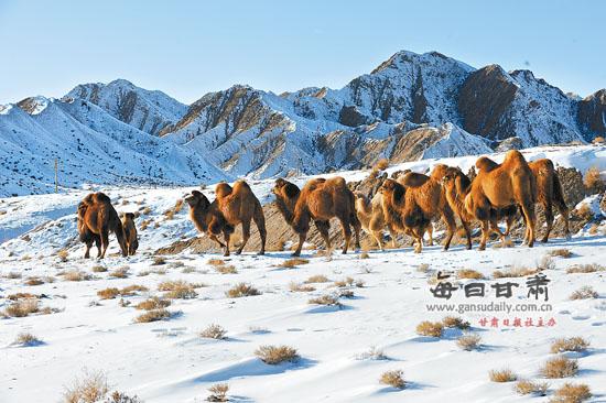 肃北蒙古族自治县通过发展养驼业使牧民增加收入