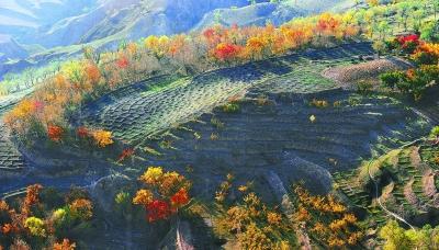 东乡族自治县漫山遍野的黄叶形成秋日里一幅美丽的画卷